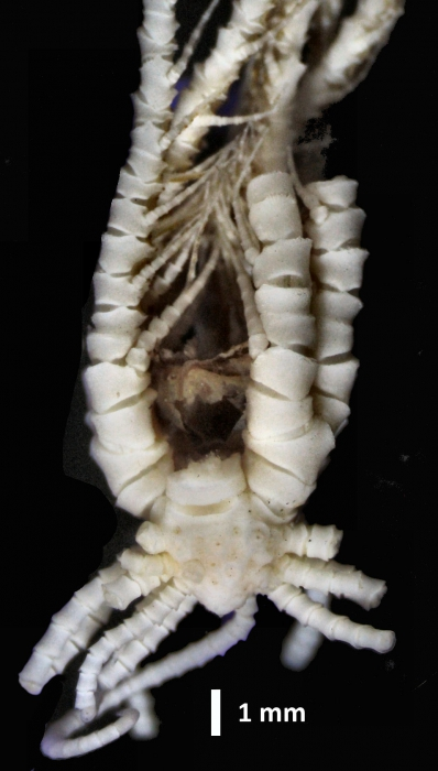 Eumorphometra hirsuta Holotype BMNH 88.11.9.53 lateral view2