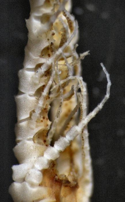 Eumorphometra hirsuta Holotype BMNH 88.11.9.53 P1-3 detached arm
