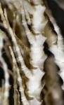 Eumorphometra hirsuta Holotype BMNH 88.11.9.53 mid arm
