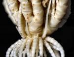 Eumorphometra marri Holotype BMNH  1938.12.7.111 ray bases