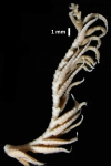 Eumorphometra marri Holotype BMNH  1938.12.7.111 detached arm