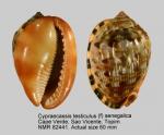 Cypraecassis testiculus senegalica