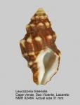 Leucozonia triserialis