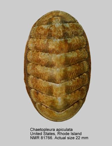 Chaetopleura (Chaetopleura) apiculata