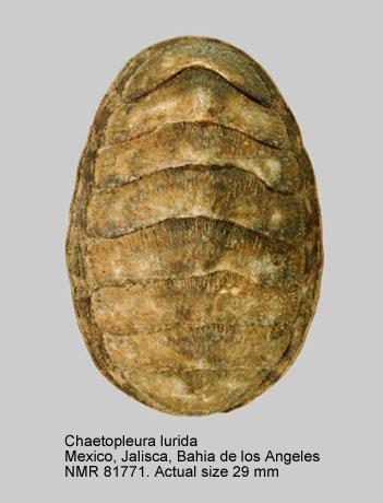 Chaetopleura (Chaetopleura) lurida