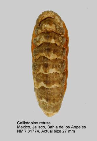 Callistoplax retusa