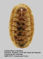 Callistochiton pulchellus