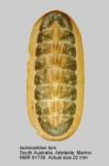 Ischnochiton (Ischnochiton) torri