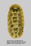 Ischnochiton (Ischnochiton) guatemalensis