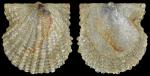Cyclopecten brundisiensis