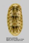 Stenoplax (Stenoplax) petaloides