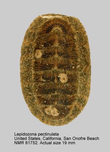 Lepidozona pectinulata