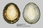 Cymbula canescens