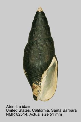 Mitra idae