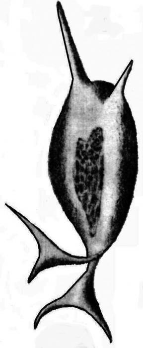 Inflatella pellicula
