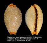 Staphylaea staphylaea consobrina