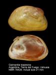 Gaimardia trapesina