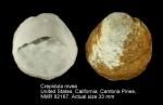 Crepidula nivea