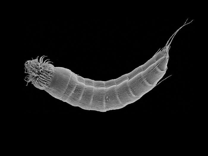 Scanning electron micrograph of Echinoderes skipperae