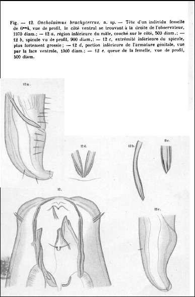 Oncholaimus brachycercus - original description