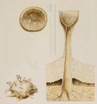 Joyeuxia belli