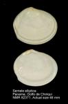 Semele elliptica