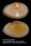Peronaea planata