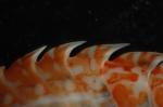Eusirus perdentatus, detail of back