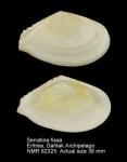 Serratina fissa