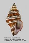 Latirus philberti