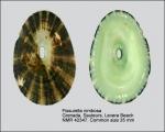 Fissurella nimbosa