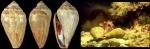 Lautoconus ventricosus