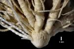 Florometra austini Holotype BMNH 1958.5.2.1 lateral closeup