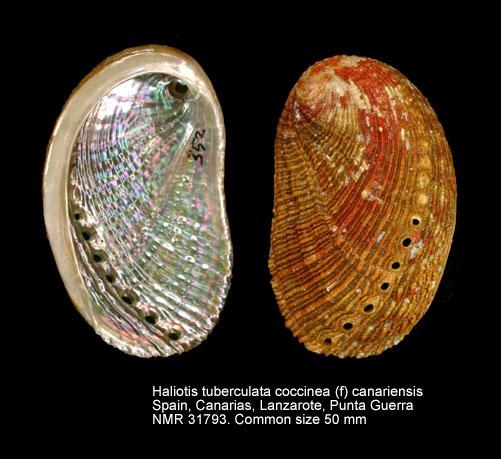 Haliotis tuberculata coccinea
