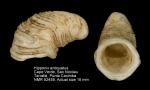 Hipponix antiquatus