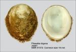 Pilosabia trigona