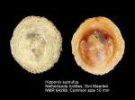 Hipponix subrufus