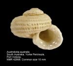 Austroliotia australis