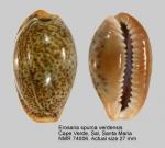 Erosaria spurca verdensium