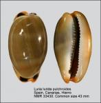 Luria lurida pulchroides