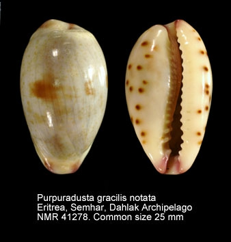 Purpuradusta gracilis notata