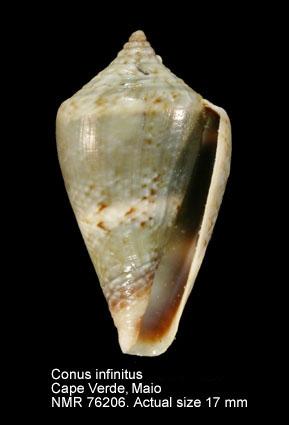 Conus infinitus