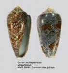 Conus textile archiepiscopus
