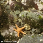 Starfish & Nacella concinna at rock face, island Albatross