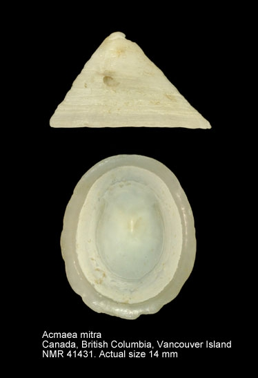 Acmaea mitra