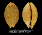 Nucleolaria nucleus madagascariensis