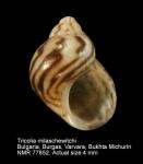 Tricolia pullus pullus