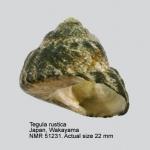 Omphalius rusticus