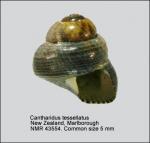 Cantharidus tesselatus