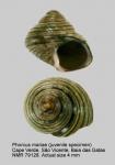 Phorcus mariae